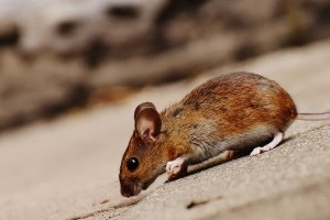 Mice Exterminator, Pest Control in Forest Hill, SE23. Call Now 020 8166 9746