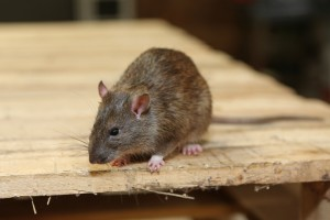 Rodent Control, Pest Control in Forest Hill, SE23. Call Now 020 8166 9746