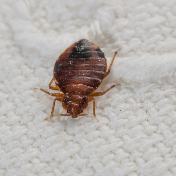 Bed Bugs, Pest Control in Forest Hill, SE23. Call Now! 020 8166 9746