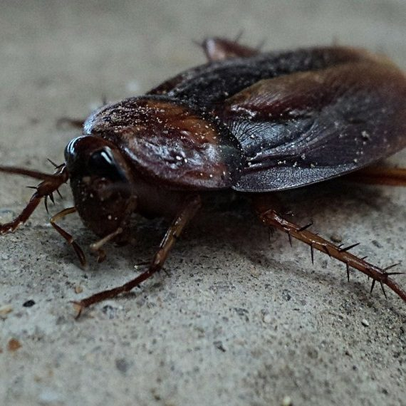 Cockroaches, Pest Control in Forest Hill, SE23. Call Now! 020 8166 9746