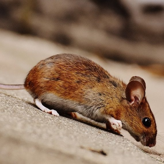 Mice, Pest Control in Forest Hill, SE23. Call Now! 020 8166 9746