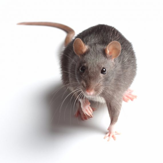 Rats, Pest Control in Forest Hill, SE23. Call Now! 020 8166 9746